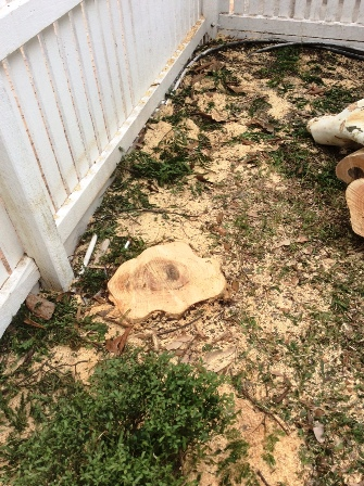 lepard tree Clayfield 2
